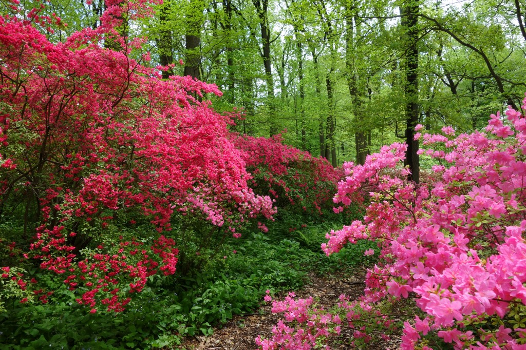 azaleas blooming in the woods