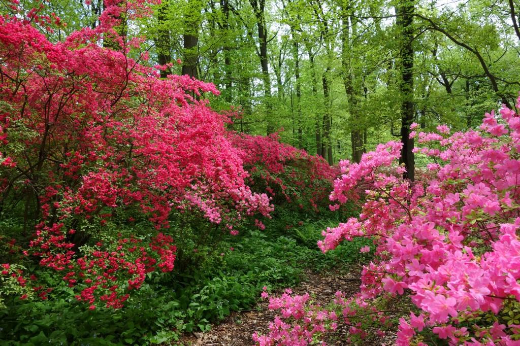 azaleas blooming in the woods
