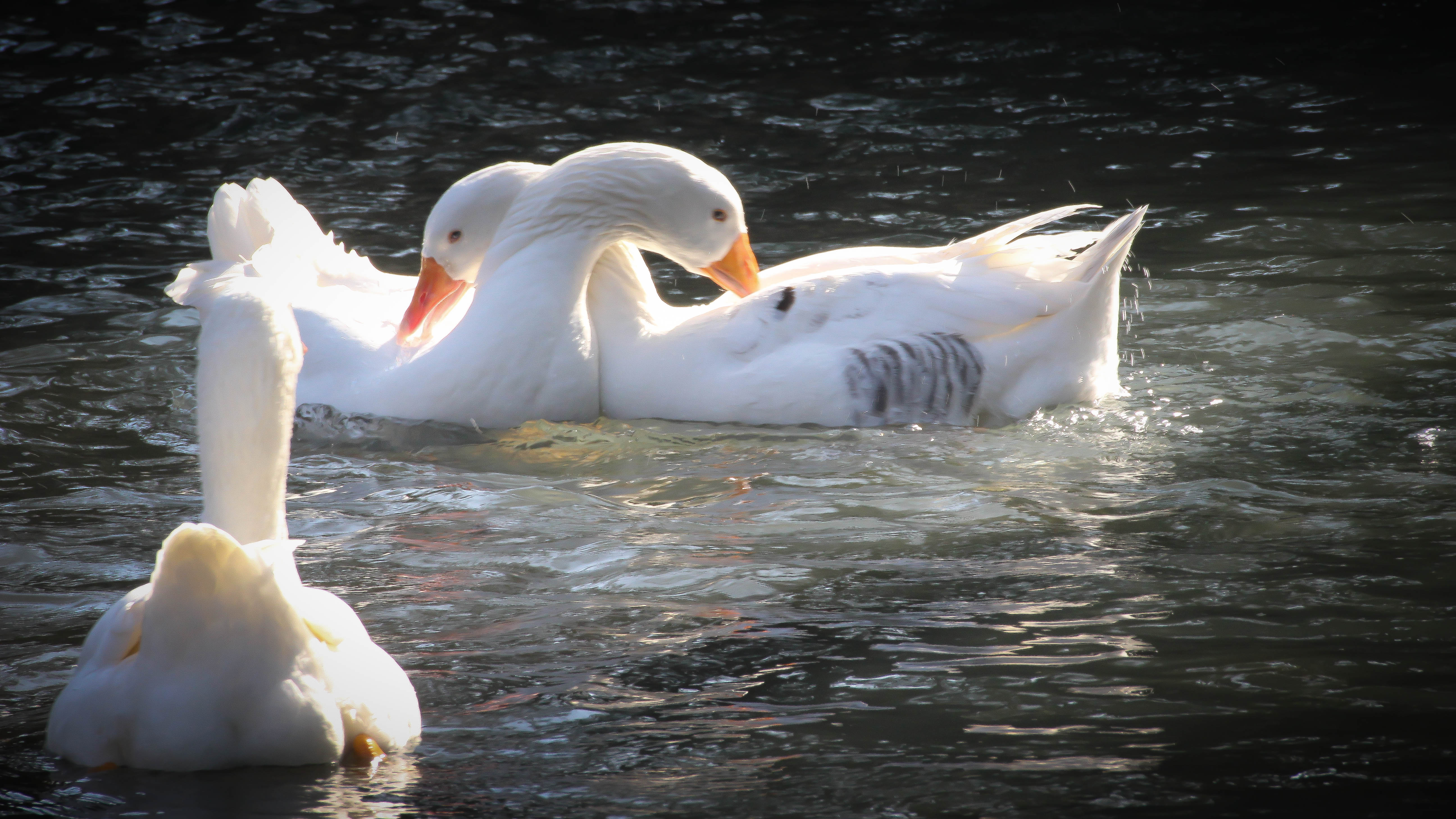 swans scratching each other's backs