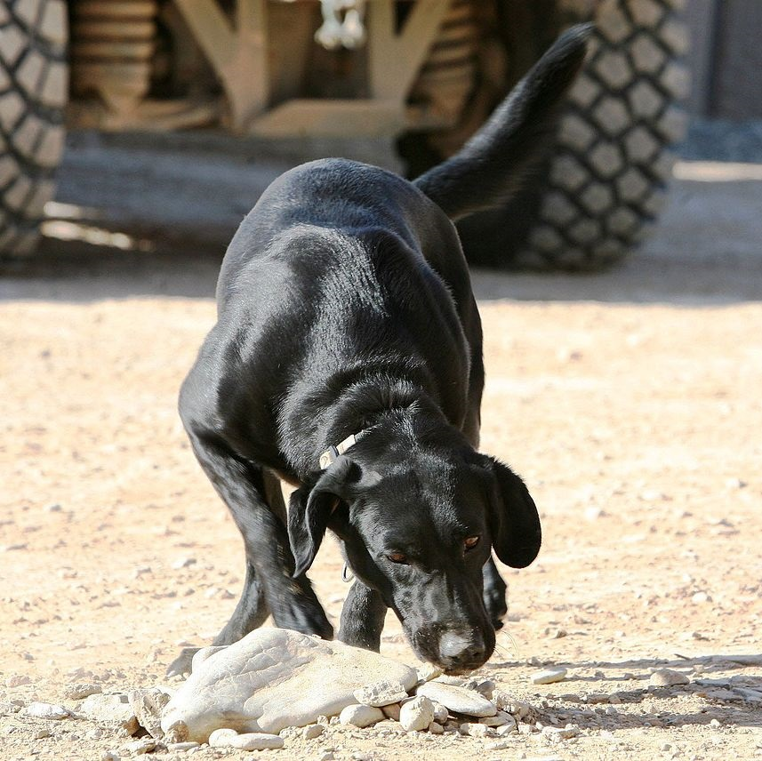 Boogy, a military working dog