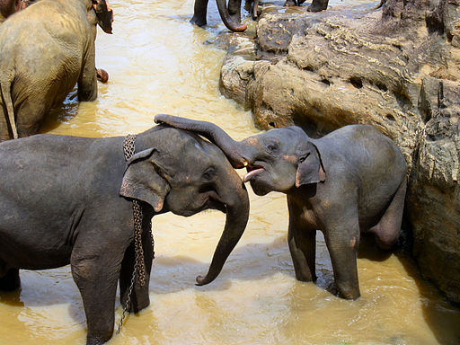 elephants being affectionate