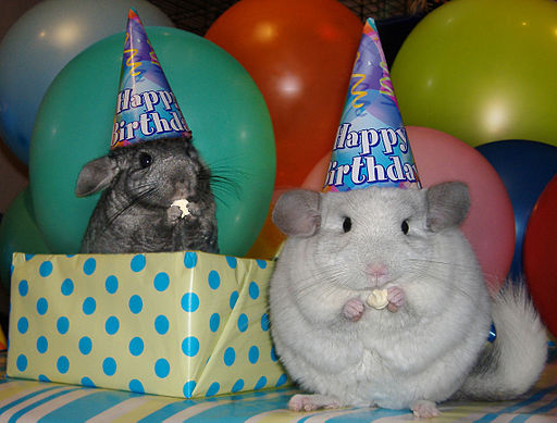 two chincillas in party hats